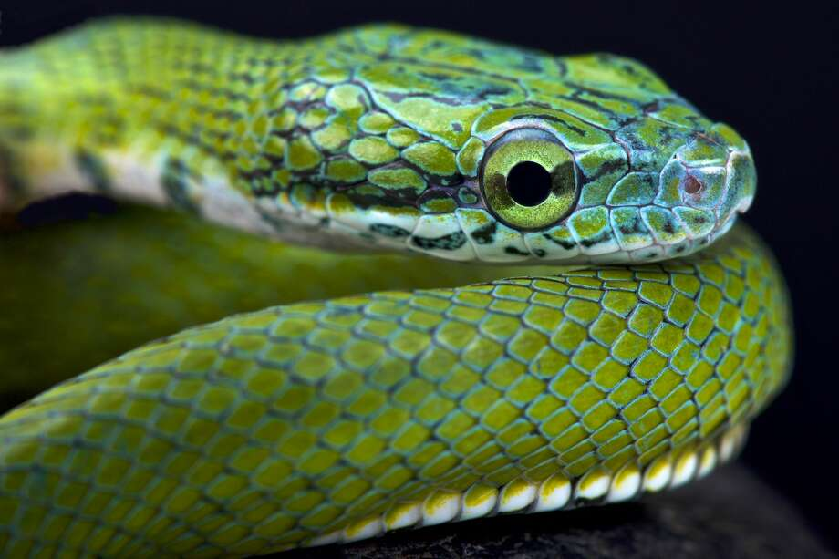 Green ratsnake (Rhadinophis prasinum) Photo: Reptiles4all/Getty Images/iStockphoto / reptiles4all
