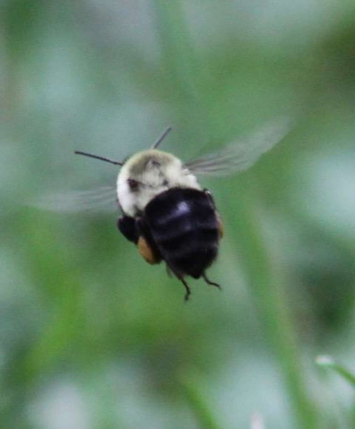 A bee photographed by Brooks Garis at his Wilton home during the summer of 2020.