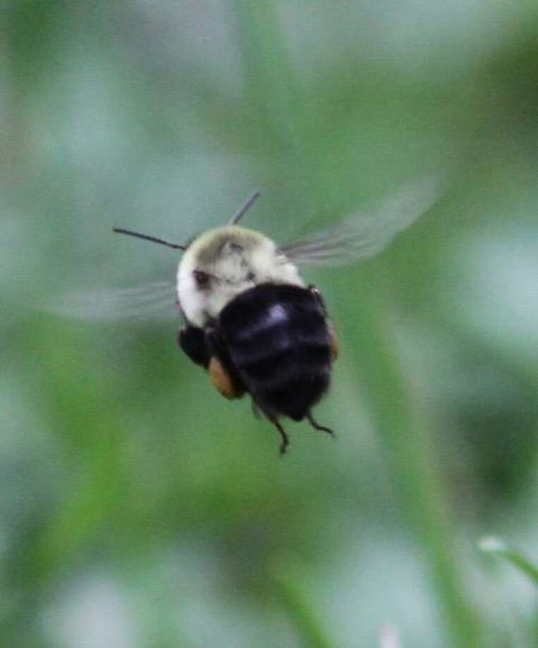 A bee photographed by Brooks Garis at his Wilton home during the summer of 2020. Photo: Contributed Photo / Brooks Garis / Wilton Bulletin Contributed