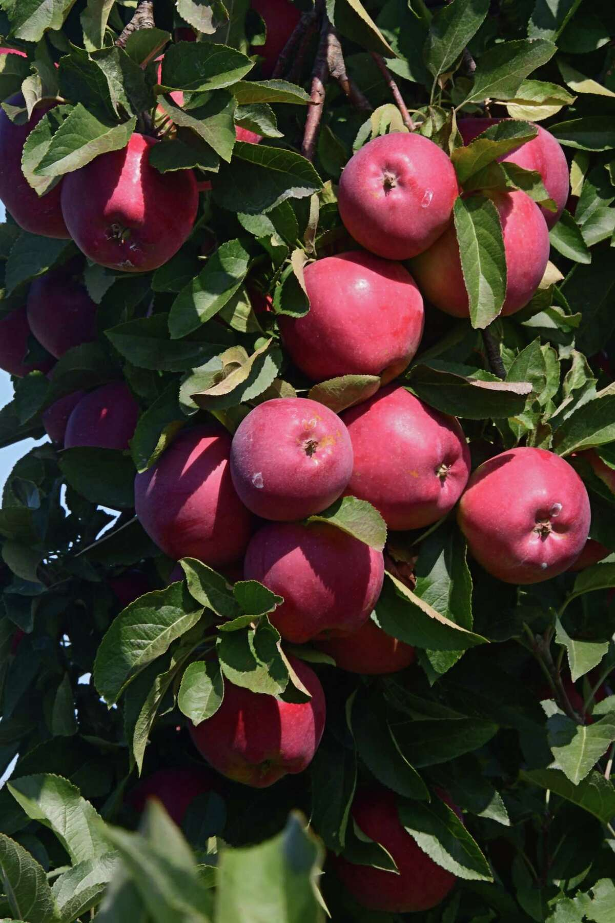 An abundance of apples are seen in a tree at Windy Hill Orchard on Tuesday, Sept. 22, 2020 in Castleton, N.Y. (Lori Van Buren/Times Union)