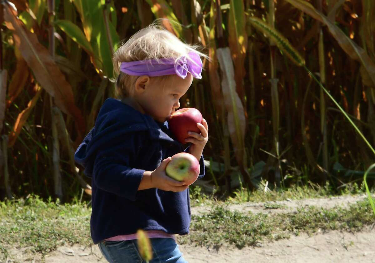 Alivia Martin, 1, of East Greenbush walks with the apples she just picked at Windy Hill Orchard on Tuesday, Sept. 22, 2020 in Castleton, N.Y. (Lori Van Buren/Times Union)