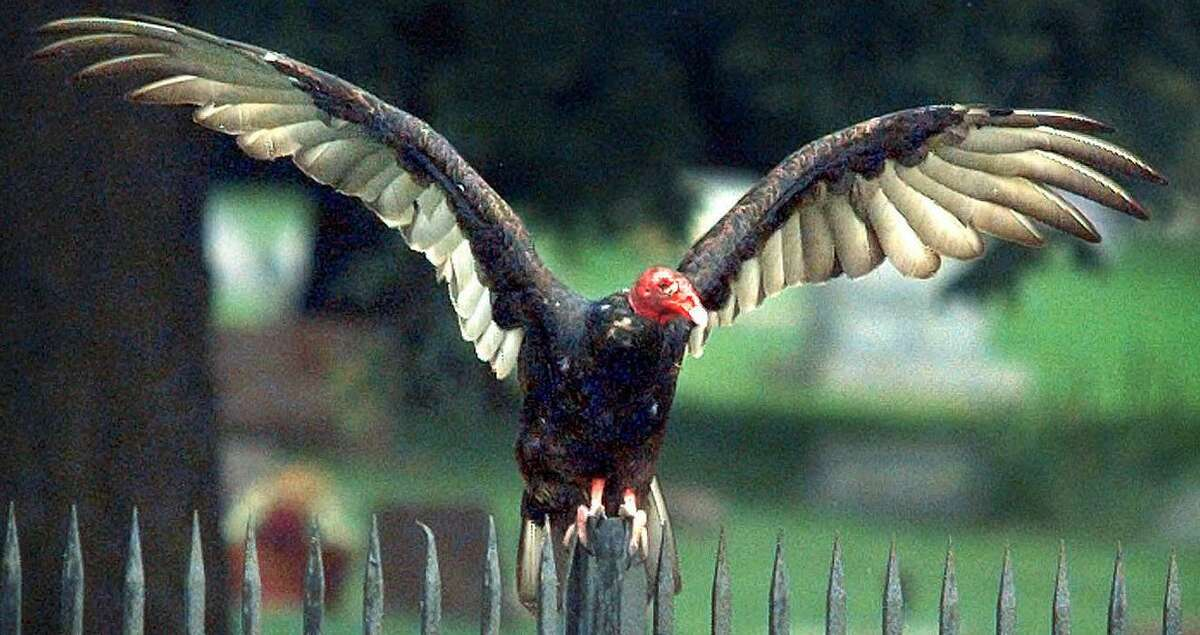 A turkey vulture stretches its wings in what's called a horaltic pose to dry its wings and warm its body.