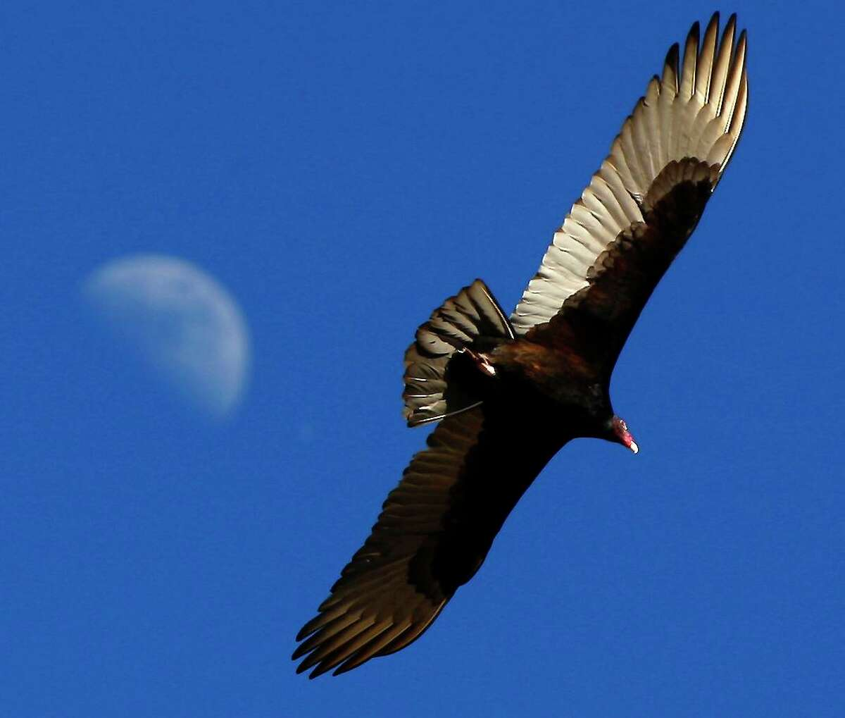 In this 2015 photo, a turkey vulture flies over the Mission Reach section of the San Antonio River near Espada Dam. Turkey vultures are part of nature's clean-up crew, removing animal corpses that can cause disease.