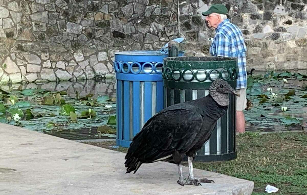 Art Madden strolls the banks of the San Antonio River in Brackenridge Park to photograph birds, where black vultures like the one pictured reside. Madden usually snaps photos of ducks and other birds but has taken his share of black vulture pics, too.
