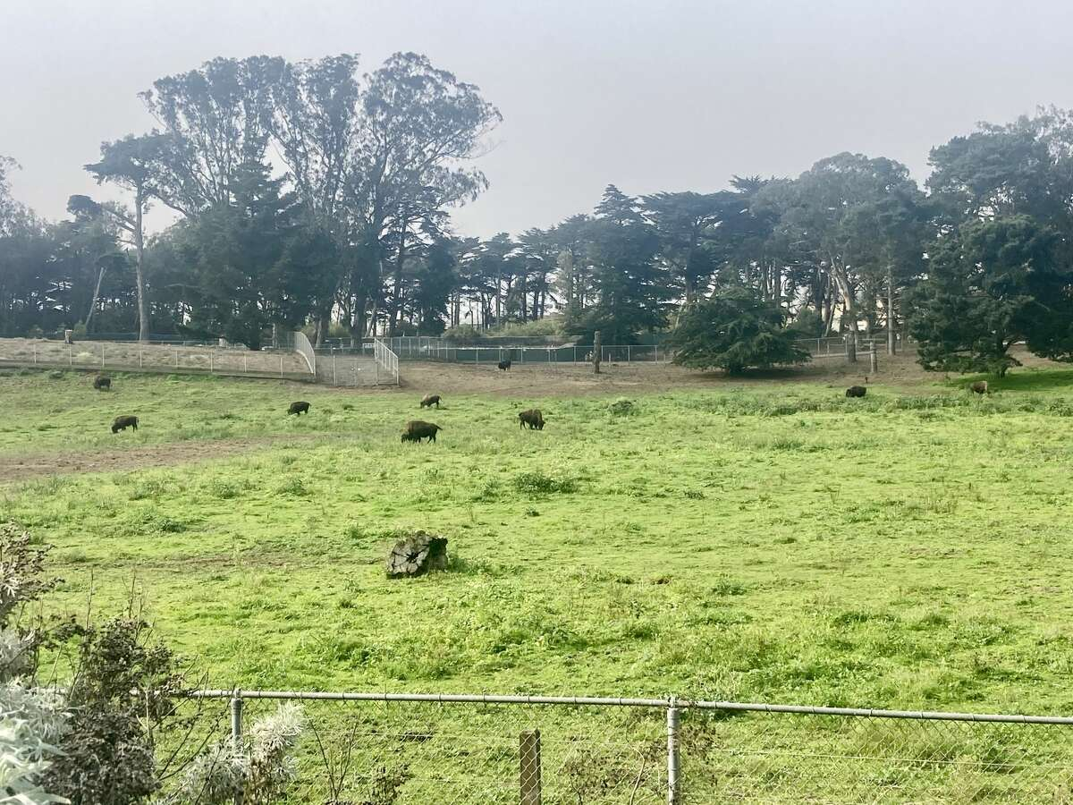 My fleeting view of the Bison Paddock in Golden Gate Park.