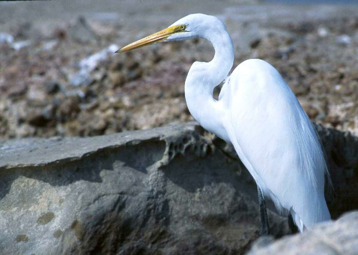 Many birds, like this great egret, simply shelter-in-place during a storm.