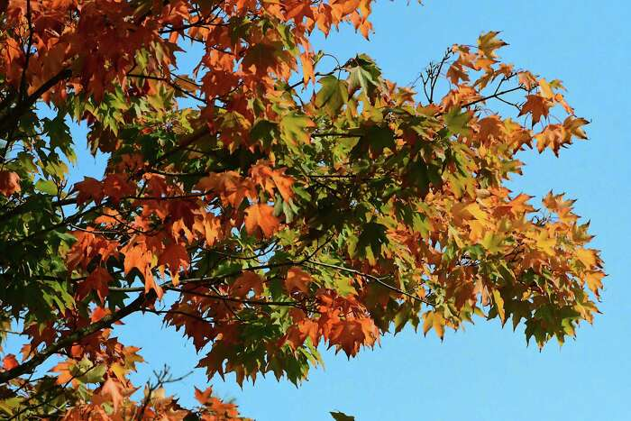 Leaves on a tree are starting to change on the first day of Fall on Tuesday, Sept. 22, 2020 in Schodack, N.Y. (Lori Van Buren/Times Union)