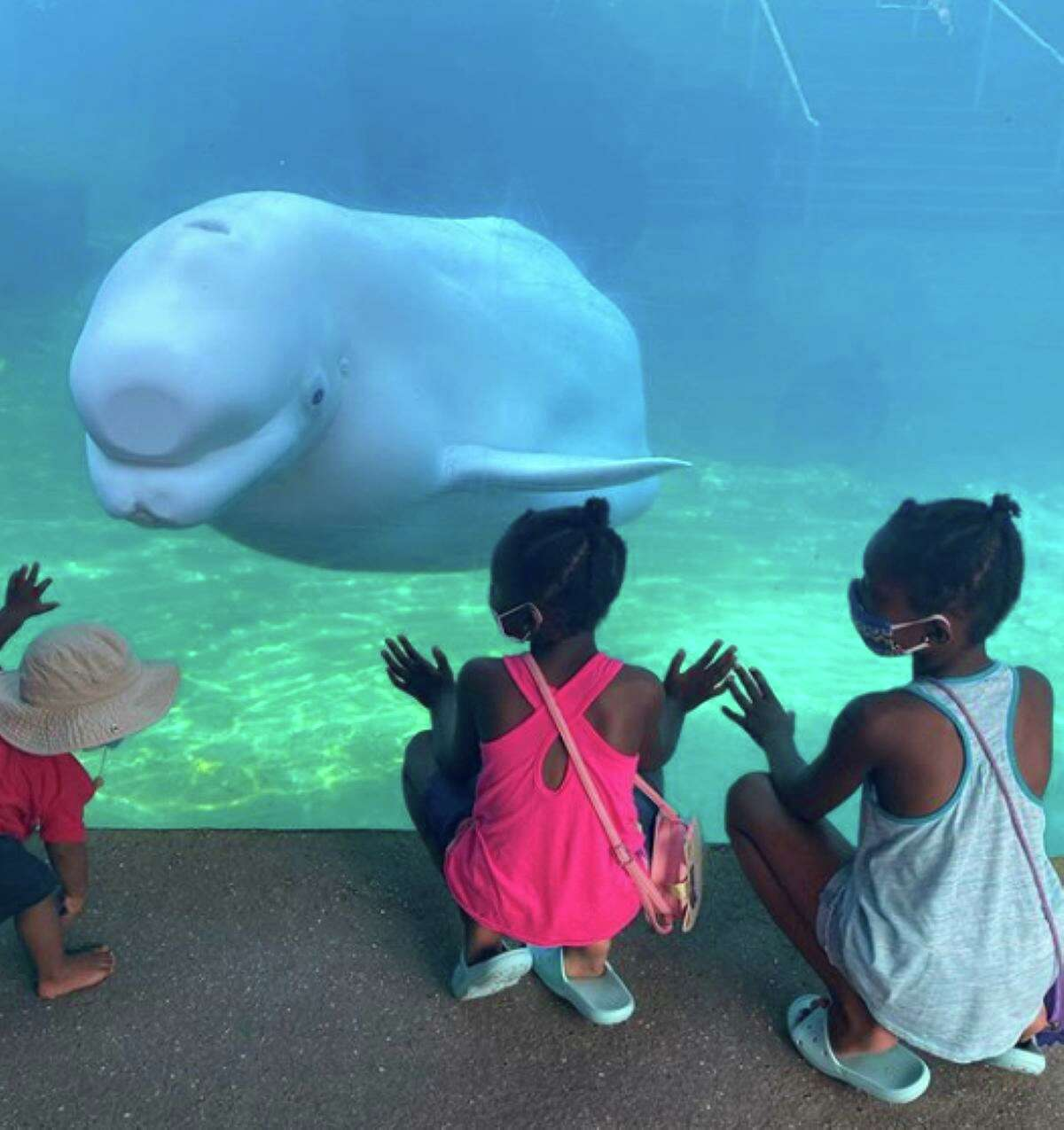 Mystic Aquarium is where you can meet New England's only beluga whales, seen here. There's also more than 300 species of other creatures.