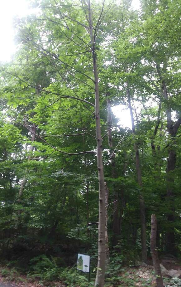 Shelton is home to an American chestnut tree, which sits beside the Rec Path, close to Wesley Drive. The American Chestnut Foundation will harvesting the chestnut seeds on Sept. 24. Photo: Shelton Trails Committee / Contributed Photo / Connecticut Post