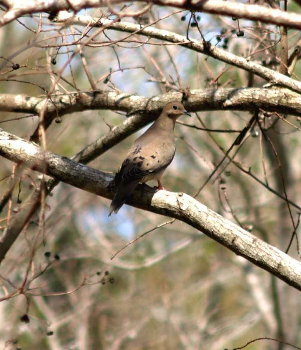 A dove in a tree may not look like such a hard target, but on the wing they are difficult to hit.