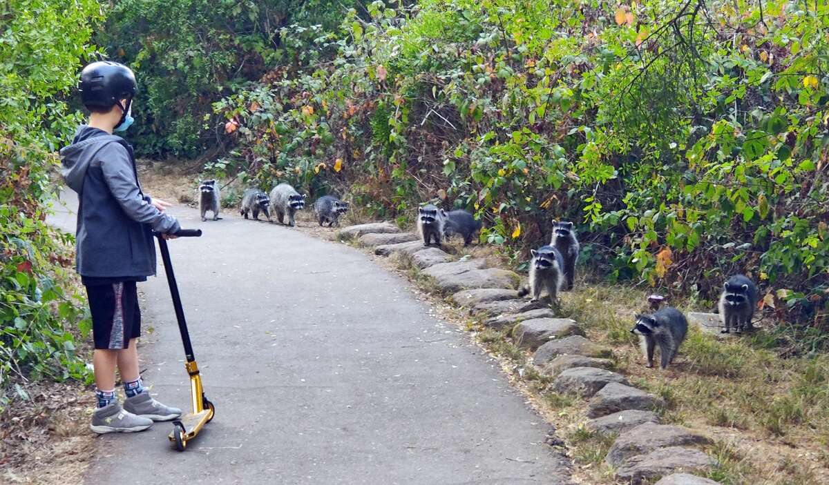 A boy on a walk in San Francisco's Golden Gate Park in September 2020 encounters 14 raccoons. Ten of the animals are pictured; the other four are in the bushes.