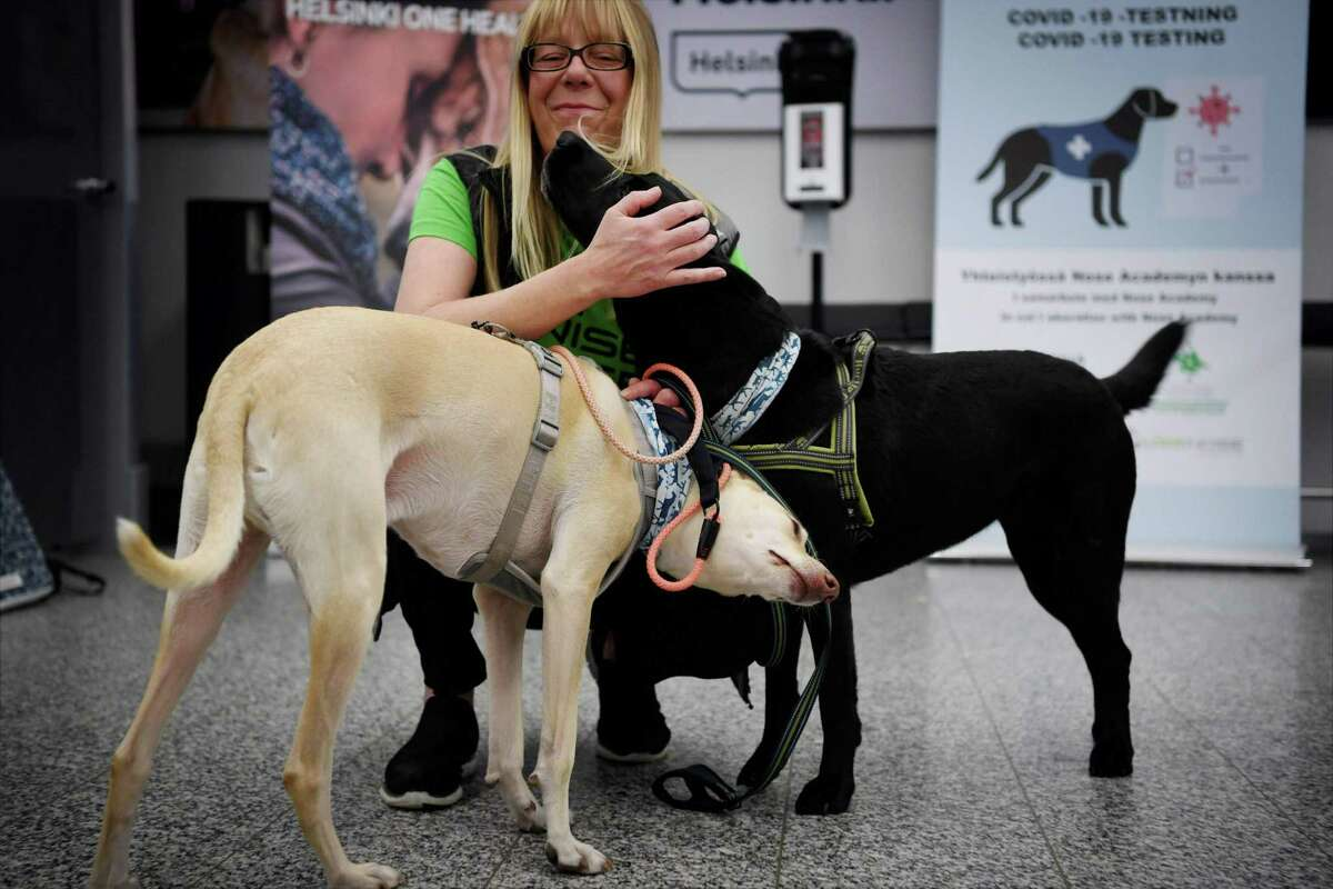 Sniffer dogs named Kössi (L) and Miina and trainer Susanna Paavilainen at the Helsinki airport in Vantaa, Finland on September 22, 2020. Four corona sniffer dogs are trained to detect the Covid-19 from the arriving passengers samples at the airport. LEHTIKUVA / ANTTI AIMO-KOIVISTO - FINLAND OUT (Photo by Antti Aimo-Koivisto / Lehtikuva / AFP) / Finland OUT