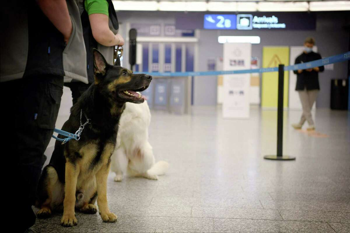 The coronavirus sniffer dog named Valo sits at the Helsinki airport in Vantaa, Finland, to detect the Covid-19 from the arriving passengers, on September 22, 2020. (Photo by Antti Aimo-Koivisto / Lehtikuva / AFP) / Finland OUT