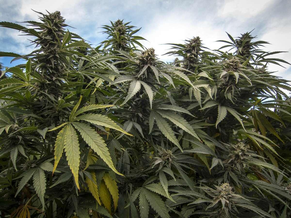 Cannabis plants growing in California.
