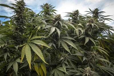 Cannabis plants growing in California, USA