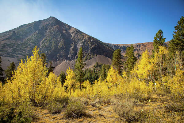 The Aspens are turning color along Virginia Lakes Road in Mono County on Sept. 22, 2020.