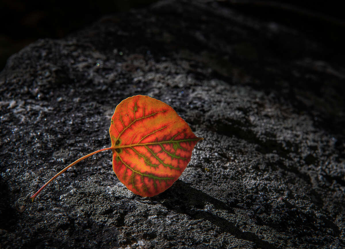 A quaking aspen leaf fell to the ground in Hope Valley on Sept. 23, 2020. This year, wildfires and the COVID-19 pandemic will make the viewing the fall colors challenging in California.