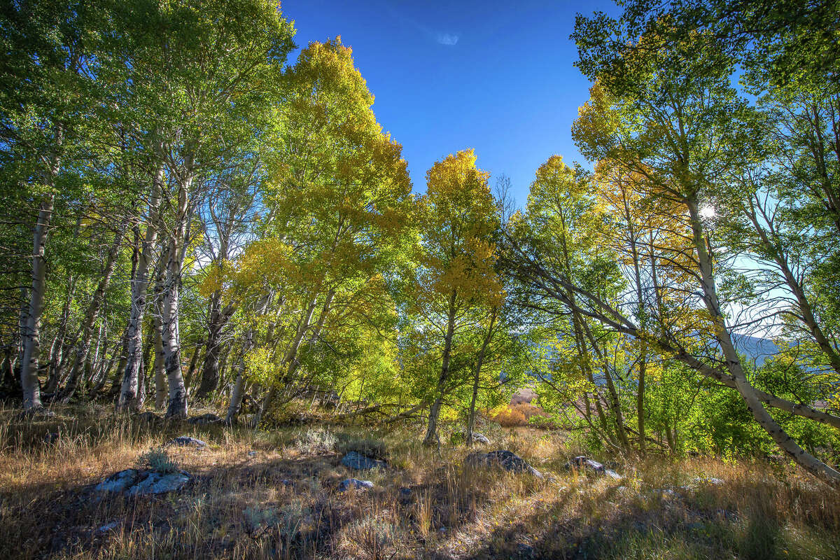 Aspen trees start to turn yellow along a pasture at Blue Lakes Road in Hope Valley on Sept. 23, 2020.