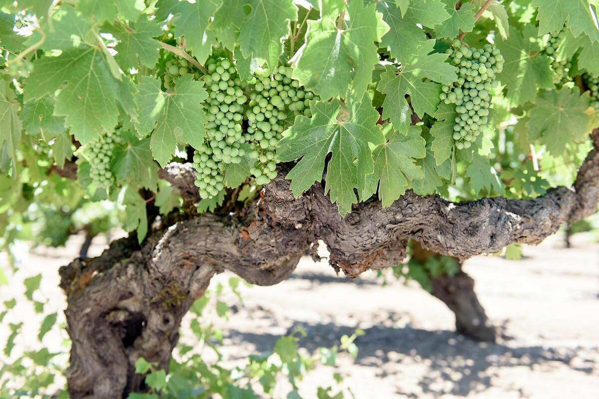 Head trained Zinfandel vines at Nalle Winery in Healdsburg, Calif., on Sunday July 1, 2018.