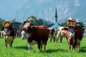 "Cows decorated with bells and flowers rest after the annual ceremonial ""cattle drive"" (Almabtrieb), on September 18, 2020 at Gramai-Alm in Tyrol's Karwendel Alpine nature park near Pertisau, Austria. - Farmers herd the cattle down from alpine summer pastures to Achensee valley barns for the winter. Disappearance of Austrian pastures as a visible phenomenon of global warming in the Alpine country, with consequences also on the cultural and traditions level. (Photo by JOE KLAMAR / AFP) (Photo by JOE KLAMAR/AFP via Getty Images)"
