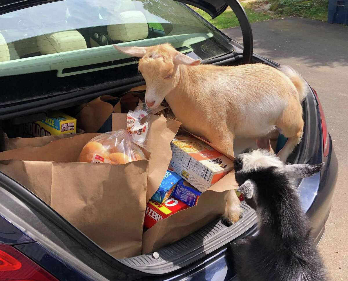 Baby goats George, left, and Misty, right, were quickly rescued by police after escaping from their pen at Dannielle Sidaoui's house in Guilford, Conn. on Sept. 22, 2020 According to Sidaoui, she and her son immediately went outside to search for them, calling