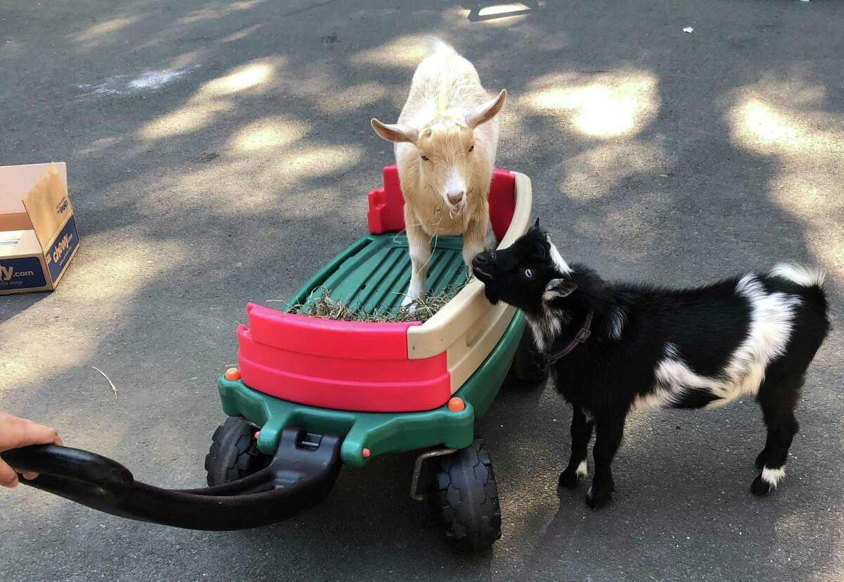 Baby goats George, left, and Misty, right, were quickly rescued by police after escaping from their pen at Dannielle Sidaoui's house in Guilford, Conn. on Sept. 22, 2020 Police Chief Warren