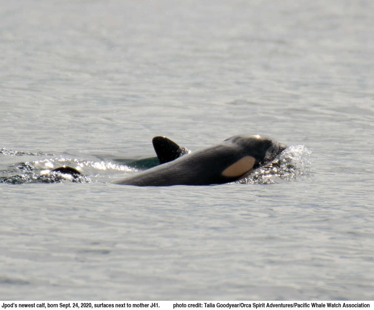 Endangered J pod welcomes second orca calf born this month