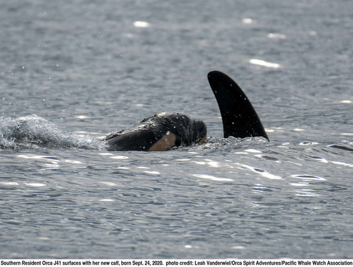 """""""Alive and boisterous"""": Endangered J pod welcomes second orca calf born this month"""