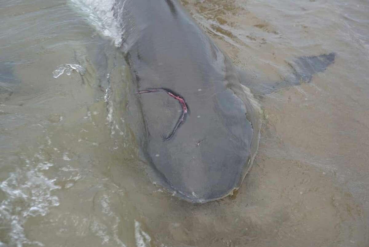 Fuller tagged the shark, which had a visible bite mark from mating, and released it back into the waters.