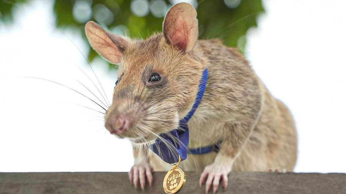 Now that's the face of a proud rat.