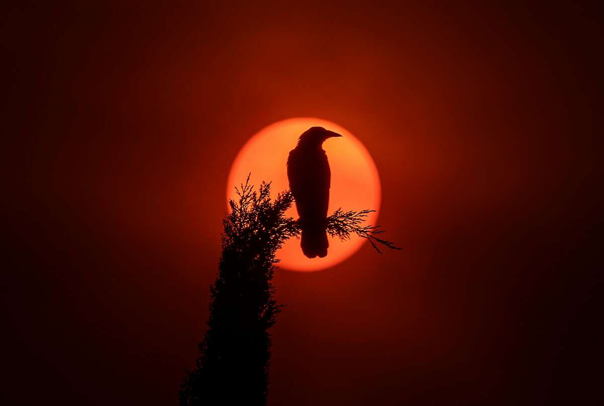 A crow sitting on a Cypress Tree is silhouetted by the sun, which is partially obscured with ash from Southland wildfires at the Christ Cathedral in Garden Grove on Sept. 9.