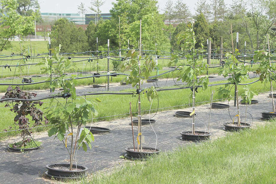 Container grown trees with drip irrigation at Morton Arboretum. Photo: Nancy Kreith