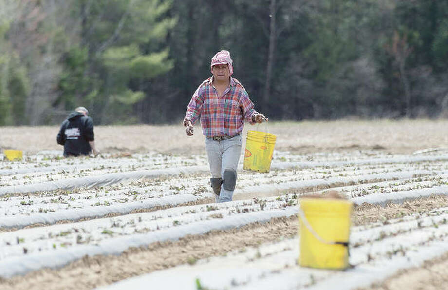A worker plants strawberries on a farm as the COVID-19 pandemic continues. Photo: Graham Hughes | Canadian Press (AP)