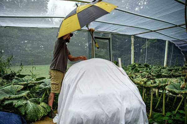 Giant pumpkin grower Ryan Cleveland prepares a pumpkin for the night in a net-covered growing house he built in his backyard. The pumpkin, named Mrs. McCleve, is expected to weigh-in at more than 2,000 pounds.