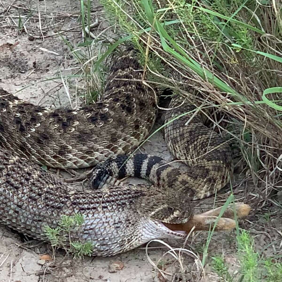 Brandon Nichols from Eagle Pass took a video of a massive rattlesnake hunting a rabbit, describing it as