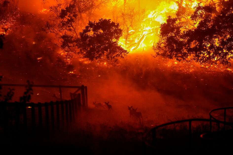 Wildlife is seen running into an engulfed Skyhawk Park as firefighters battle the Shady Fire as it makes its way towards homes along Mountain Hawk Drive in Skyhawk Park on Monday, Sept. 28, 2020 in Santa Rosa, CA.