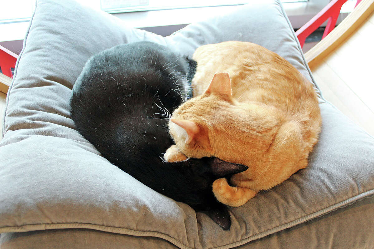 Two cats at KitTea in the shape of a heart.