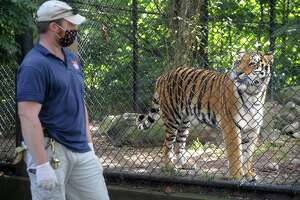 Animal care specialist Chris Barker and Zeya, one of two Amur tigers at Connecticut's Beardsley Zoo, in Bridgeport, Conn. Sept. 29, 2020. Zeya is scheduled to leave the zoo Tuesday to be moved to another facility for breeding purposes.