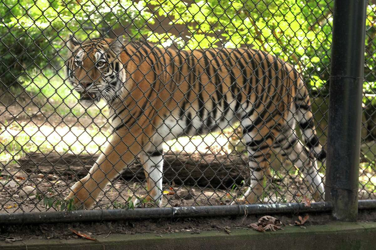 Zeya, one of two Amur tigers at Connecticut's Beardsley Zoo, in Bridgeport, Conn. Sept. 29, 2020. Zeya is scheduled to leave the zoo Tuesday to be moved to another facility for breeding purposes.