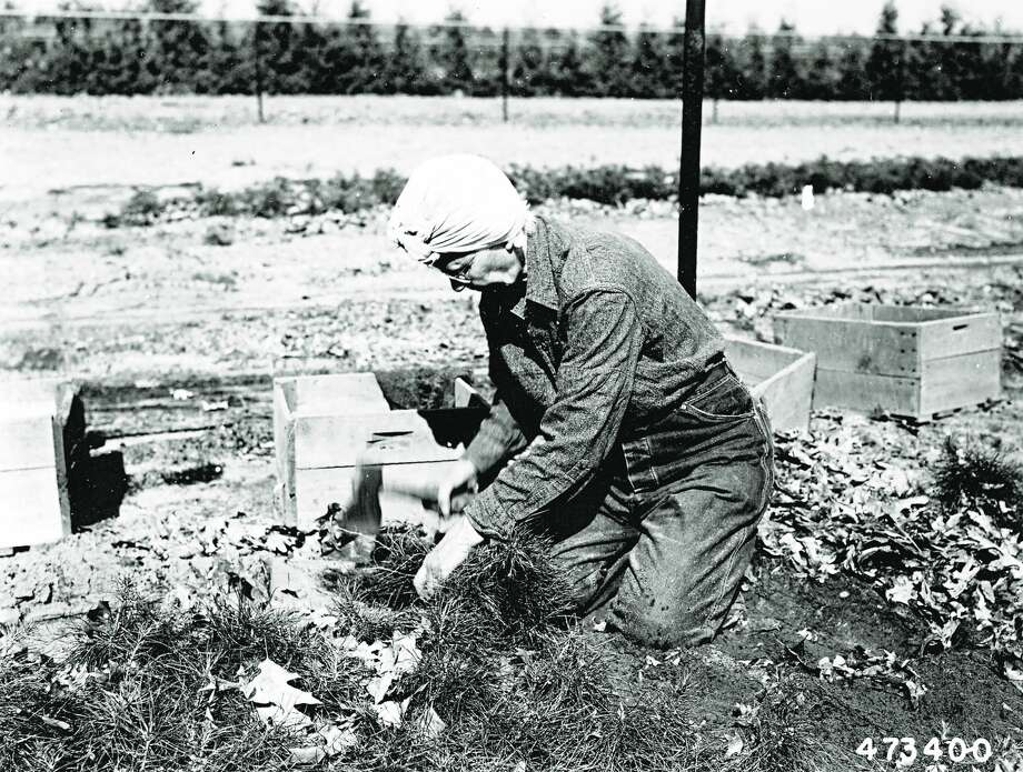 A Chittenden Nursery employee prunes roots of young jack pines May 23, 1954. Women were hired seasonally and during World War II by the nursery to do the work that had previously been reserved for men. Photo: Courtesy Photo