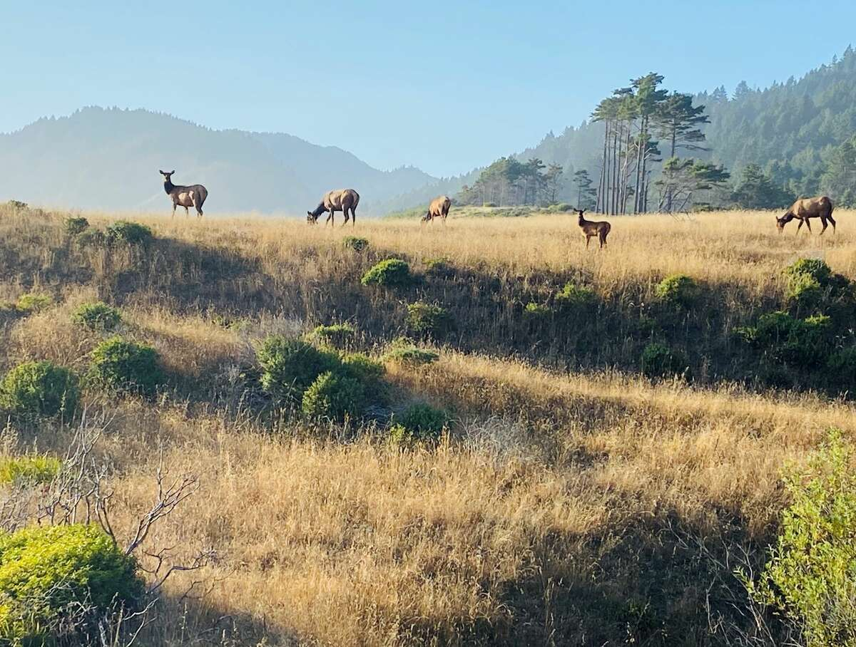 Majestic-looking elk in Sinkyone Wilderness State Park.