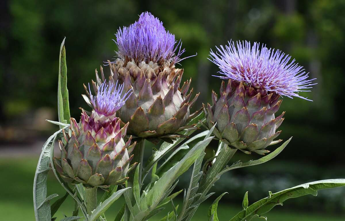 A blooming Cardoon (Cynara cardunculus) was on display during the grand opening of the Chrildren's Garden at Mercer Botanic Gardens in Humble on June 9, 2018. (Jerry Baker/For the Chronicle)
