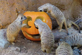 The Houston Zoo's merry-not-scary annual Halloween event Zoo Boo returns in 2020 with new experiences and COVID-19 safety measures.