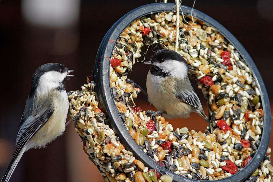 The Sharon Audubon is taking orders now for its bird seed sale. Above, black capped chickadees. Photo: Contributed Photo / Helena Garcia
