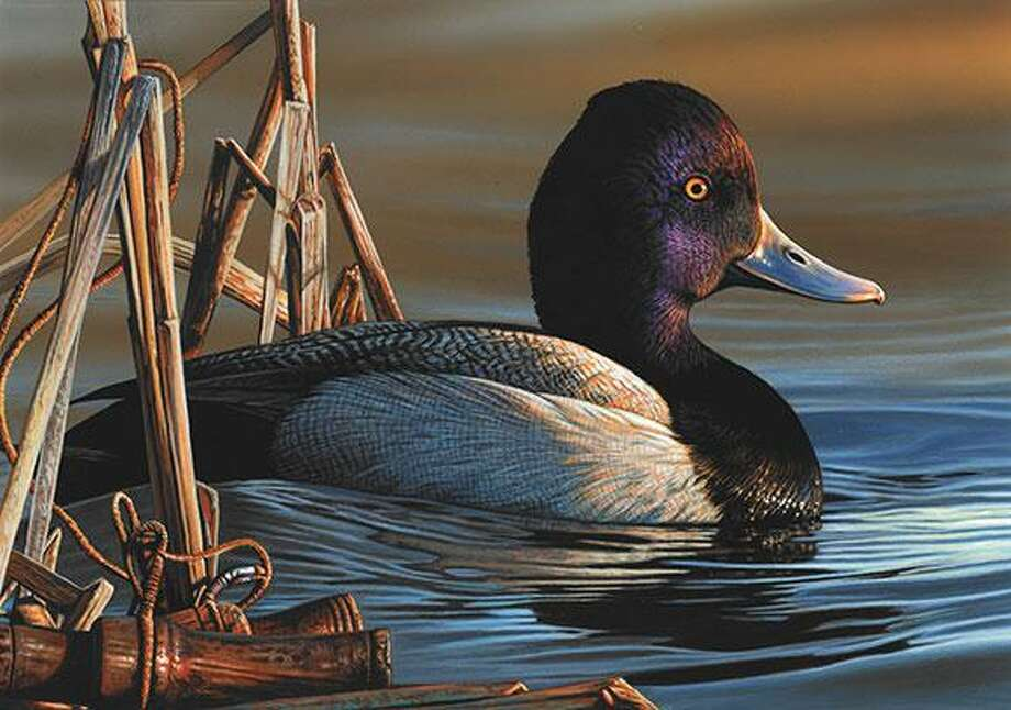 This painting of a single lesser scaup drake by Richard Clifton of Milford, Delaware was announced as the winner of the 2020 Duck Stamp Contest by the Fish and Wildlife Service Sept. 26, 2020. Photo: Contributed /U.S. Fish And Wildlife Service