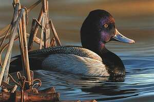 This painting of a single lesser scaup drake by Richard Clifton of Milford, Delaware was announced as the winner of the 2020 Duck Stamp Contest by the Fish and Wildlife Service Sept. 26, 2020.