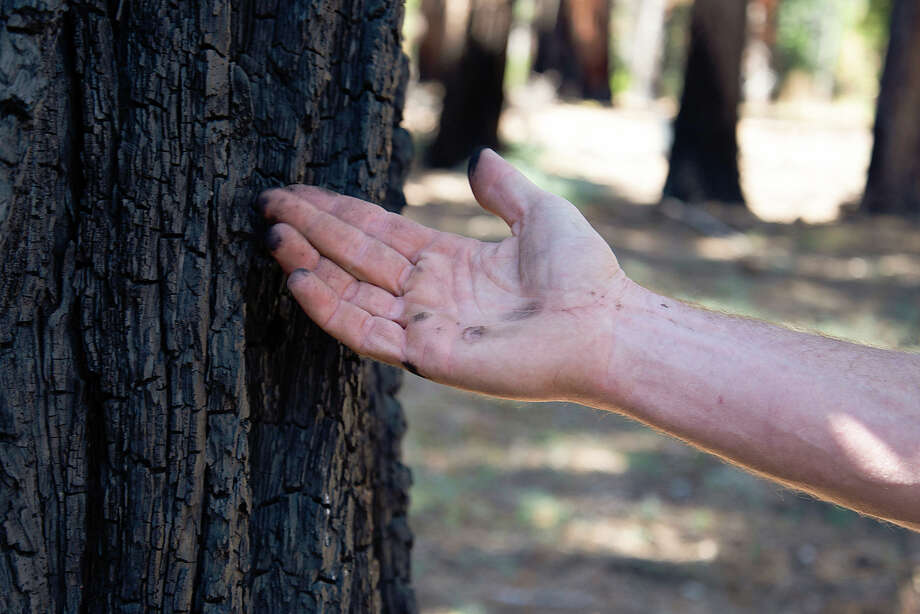 Dave Murray touches the bark of a tree burned in a 2018 prescribed burn within Ed Z'berg Sugar Pine Point State Park on Sept. 24, 2020. Photo: Tom Hellauer / SFGATE / © Tom Hellauer 2020