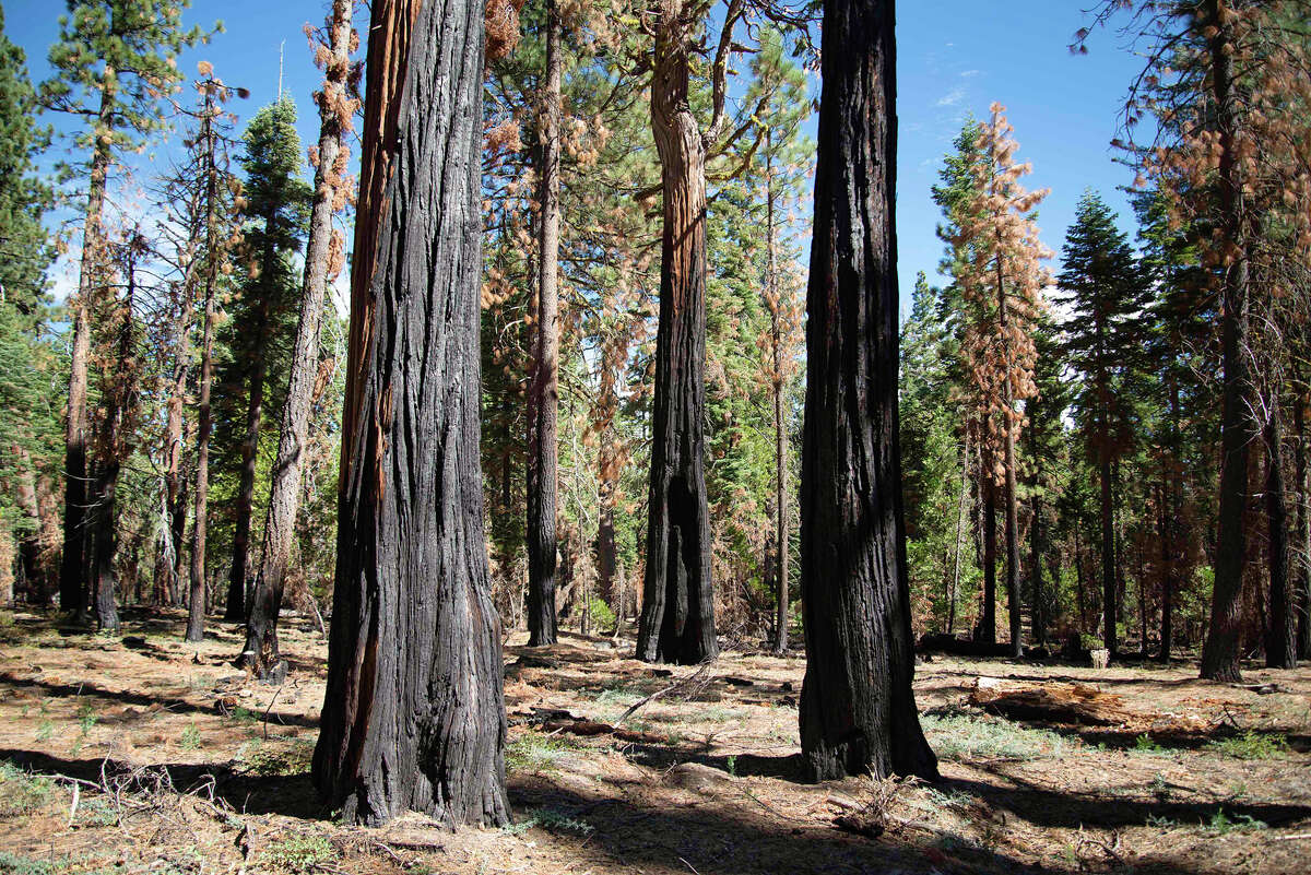 Various tree species show the signs of a 2018 prescribed burn in Ed Z'berg Sugar Pine Point State Park on Sept. 24, 2020. Prescribed burns often burn at lower temperatures than wildfires, allowing for more positive fire effects to benefit the forest.