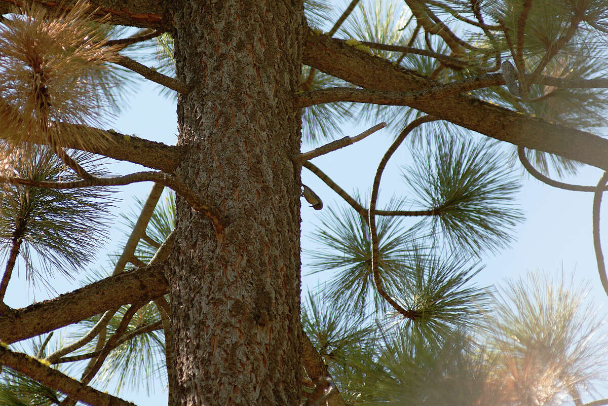 A woodpecker pecks into a tree in Ed Z'berg Sugar Pine Point State Park on Sept. 24, 2020. Prescribed burns offer improved habitats for many birds, mammals, amphibians and other wildlife in Sierra Nevadan forests.