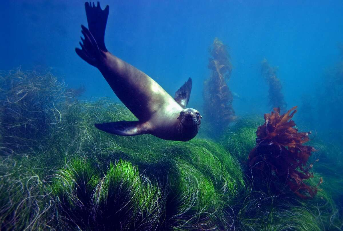 A sea lion in the eel grass at Anacapa Island in the Channel Islands National Park.